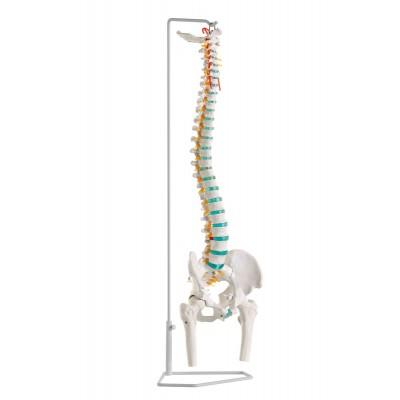 Ελαστική σπονδυλικη στηλη με κεφαλές μηριαίων οστών
