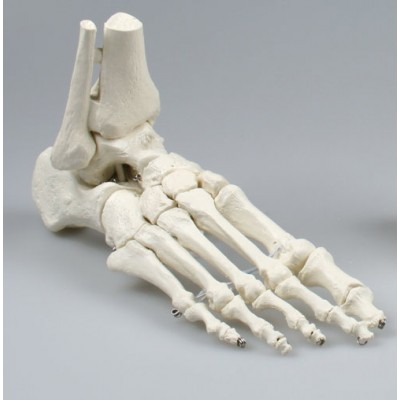 Σκελετός άκρου ποδός ελαστικός- Erler Zimmer