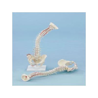 Σπονδυλική στήλη με εκφύσεις μυών