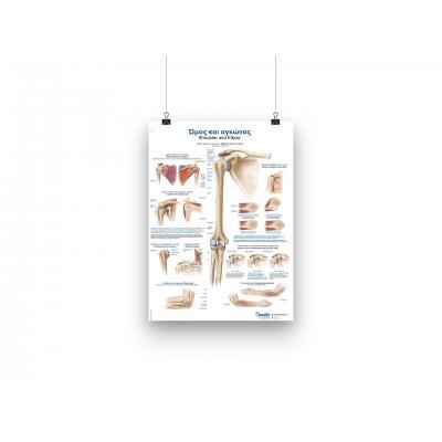 Αφίσα ανατομίας - Ώμος και αγκώνας - GR/EN - 50x70cm