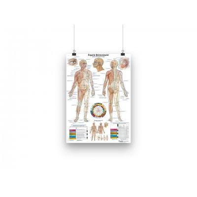 Poster -Τα σημεία βελονισμού - GR/EN - 50x70cm