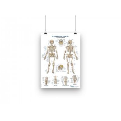 Αφίσα - Οστά του ανθρώπου - GR/EN - 50x70cm